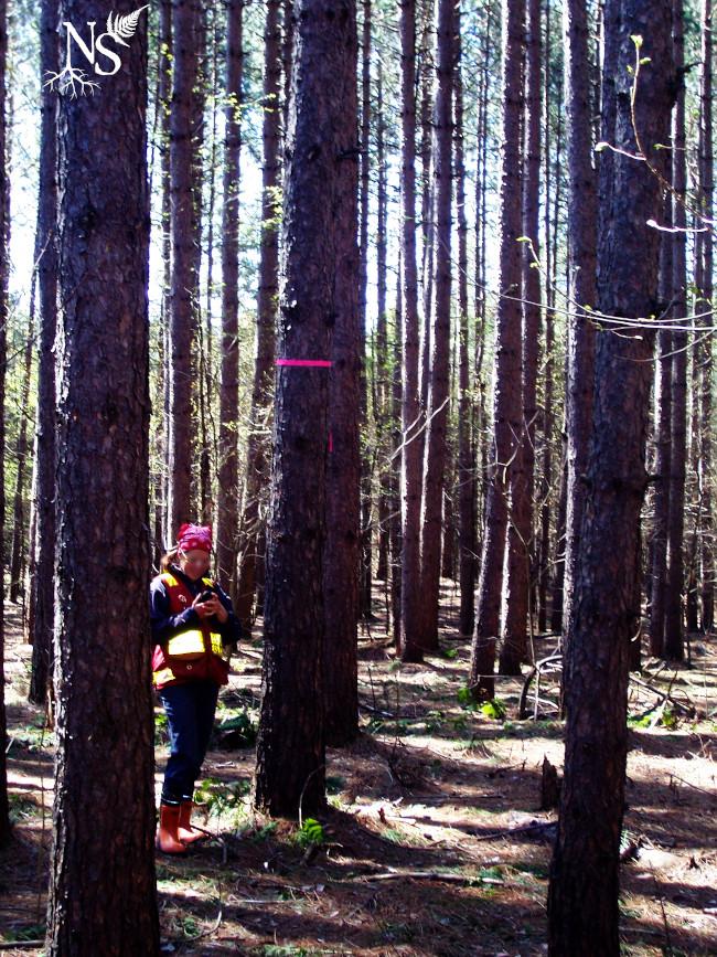 une forestière debout à côté d'un pin marqué plus d'un mètre au-dessus de sa tête