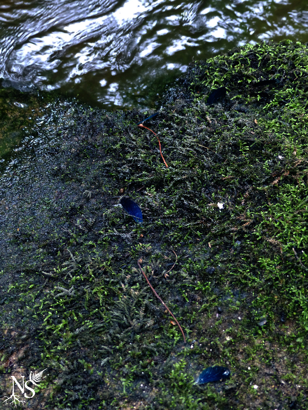ailes de libellule bleu foncé sur les berges de la rivière