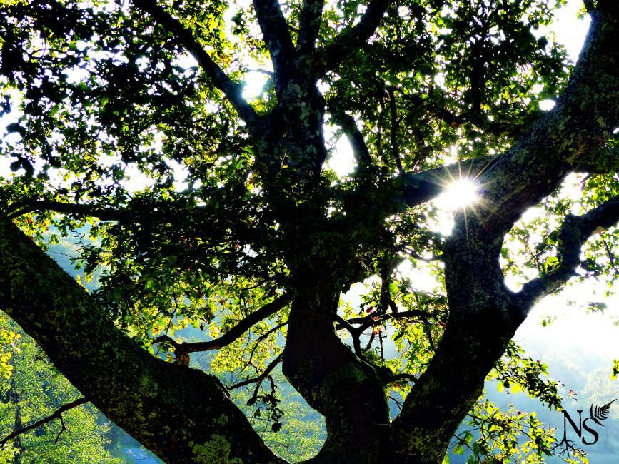 le soleil perce à travers les branches d'un vieux chêne