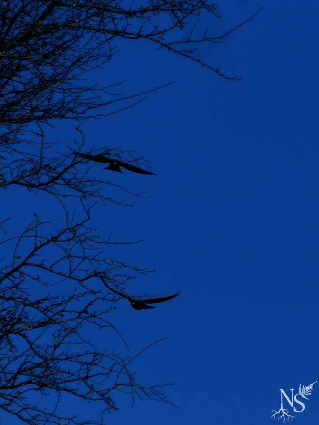 Flying crows ❉ Corbeaux en plein vol