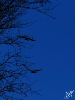 Flying crows ❉ Corbeaux en plein vol