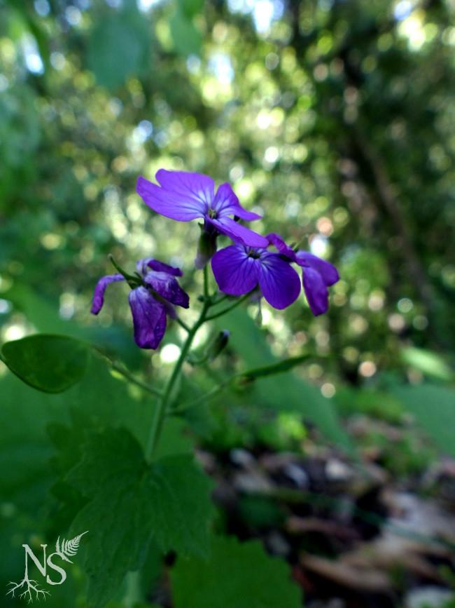 lunaria mauve flowers