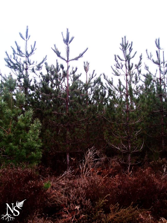 jeune plantation de pins dont les couronnes de branches se discernent bien