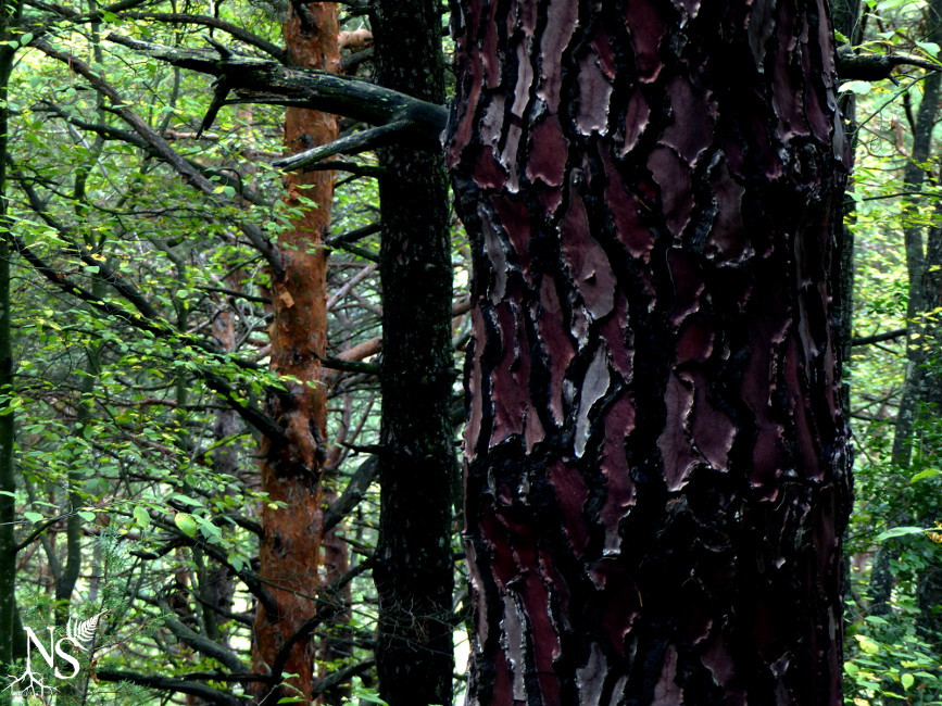 pine barks after the rain, purple for the maritime pine, salmon for the scots pine