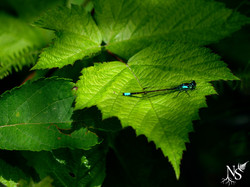 Dragonfly ❉ Libellule