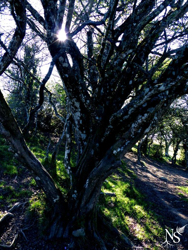 Old hawthorne tree ❉ Vieux spécimen d'aubépine