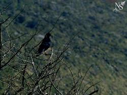 Blackbird and thorns ❉ Merle et épines