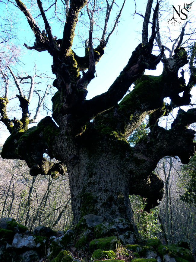 a very imposing oak, several hundred years old