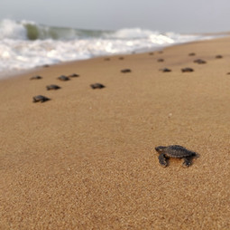 6. Olive-ridley turtle hatchlings return