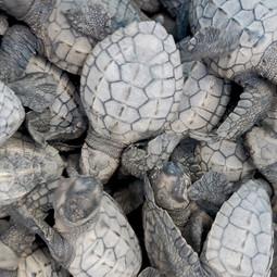 7. Olive-ridley turtle hatchlings.JPG