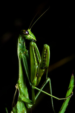 The Great Mantis of the Altitude Fields