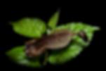 WEB-Acanthops-Adulto-1.png
