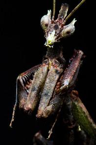 The Brazilian Dragon Mantis (1).JPG