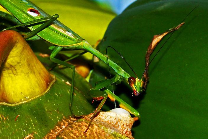Stagmatoptera Precaria feeding on Papaya