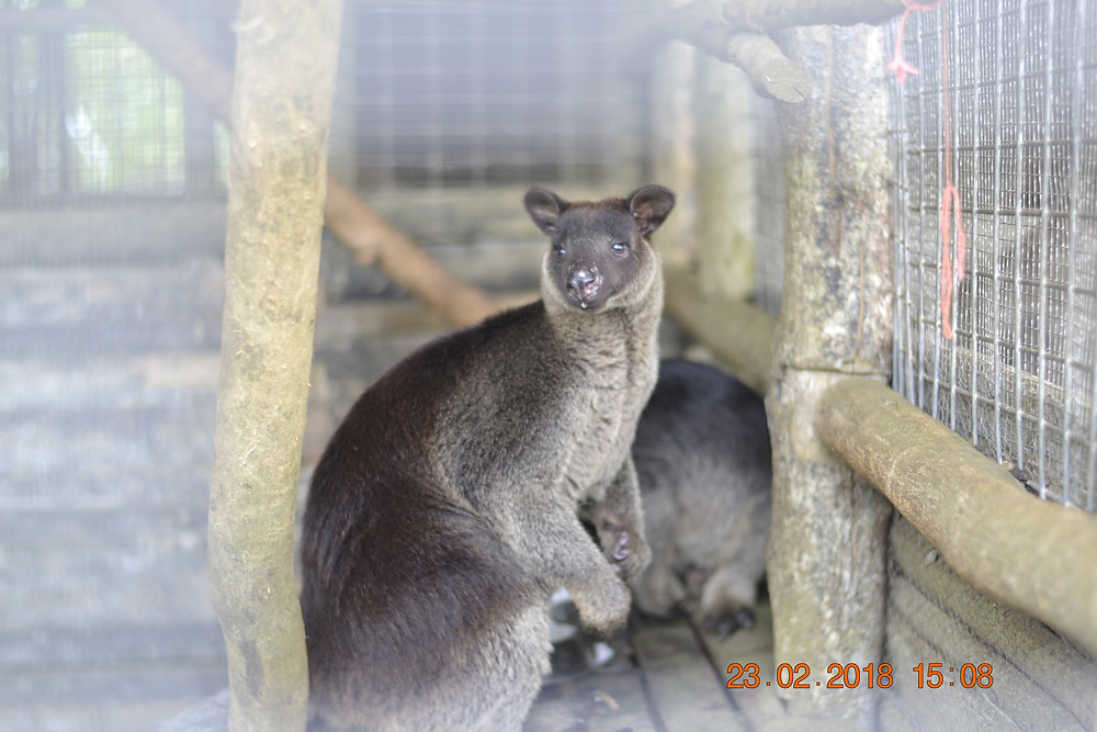 A tree kangaroo in Lumi