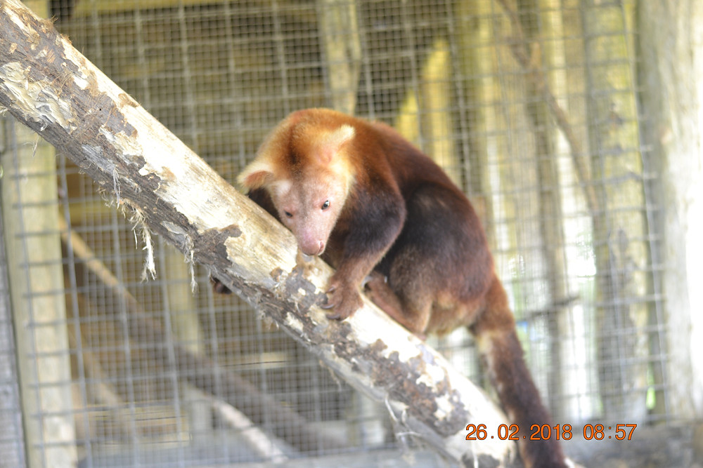 Another species of tree kangaroo