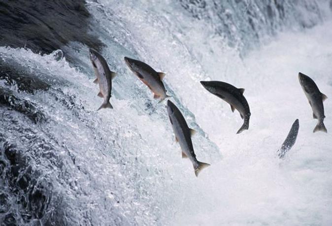 salmon.png