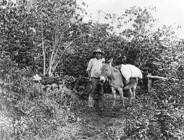 Kona Coffee Man with Donkey