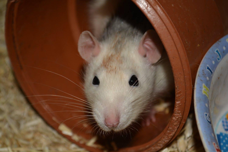 Rat en garde à domicile