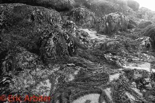 Sea-wrack, Olympic National Park