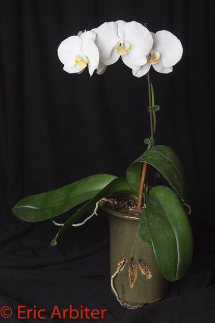 Still-life, Orchid Pandemic