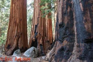 Patriarch Sequoias, Sequoia National Park