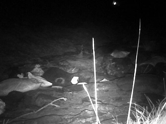 Otter sprainting