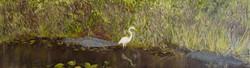Everglades with alligators and egret_edited