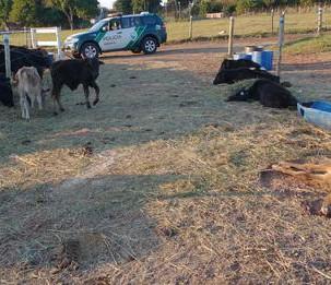"""Chacareiro justifica morte de gado por fome por que """"animais tem preguiça de comer"""""""