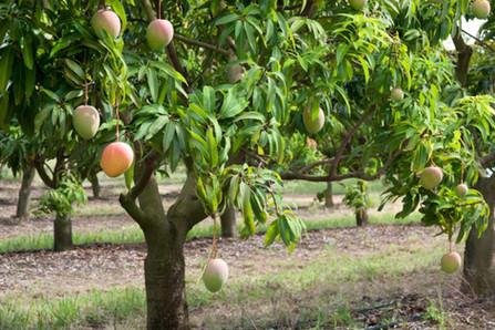 mango-trees-1.jpg