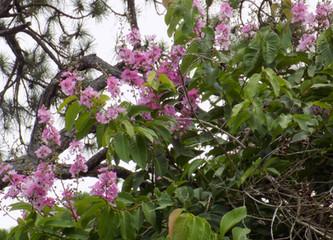 Flowering Macadamia.JPG