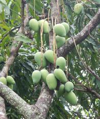 Mangoes1.JPG