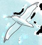 Albatross flying.tif