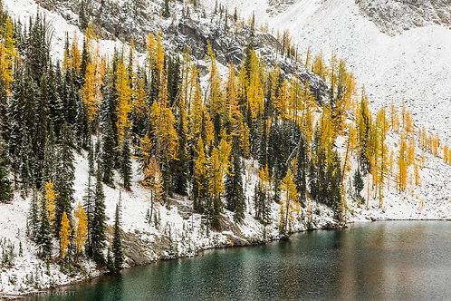 Larches On The Lake Shore