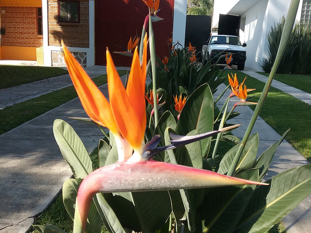 Bird of Paradise in Lake Chapala