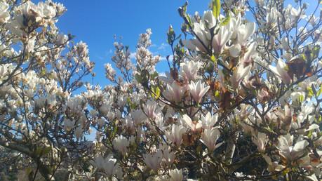 Magnolia Tree, UK