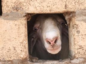 Goat, Senegal