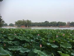 Lily pond, China