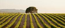 Sierra Norte Vineyard.jpg