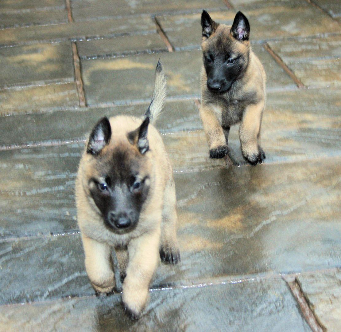 shiraze pups