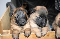 pups 4 weeks