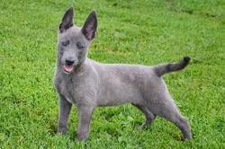 blue Malinois puppy