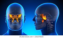 male-sphenoid-skull-anatomy-blue-260nw-2
