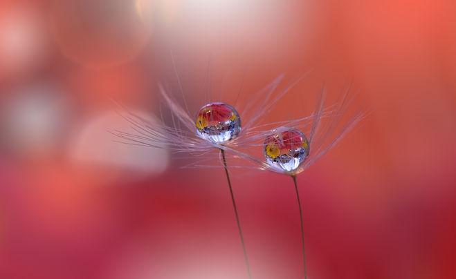 picfair-08842110-dandelion-flower-in-sof