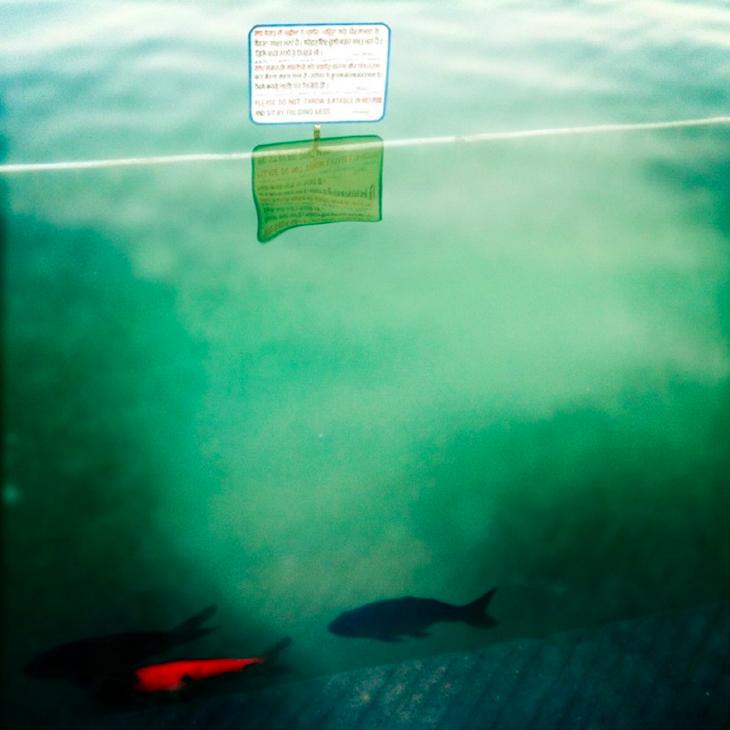 Golden Temple's Fish