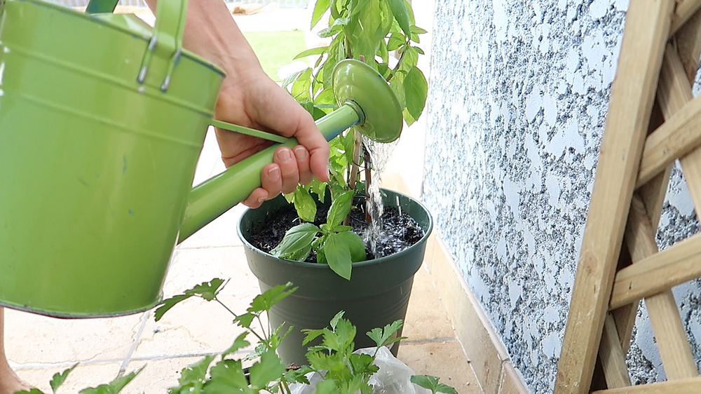 planting my baby basil plant