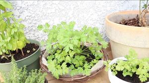 My herbs garden / Parsley