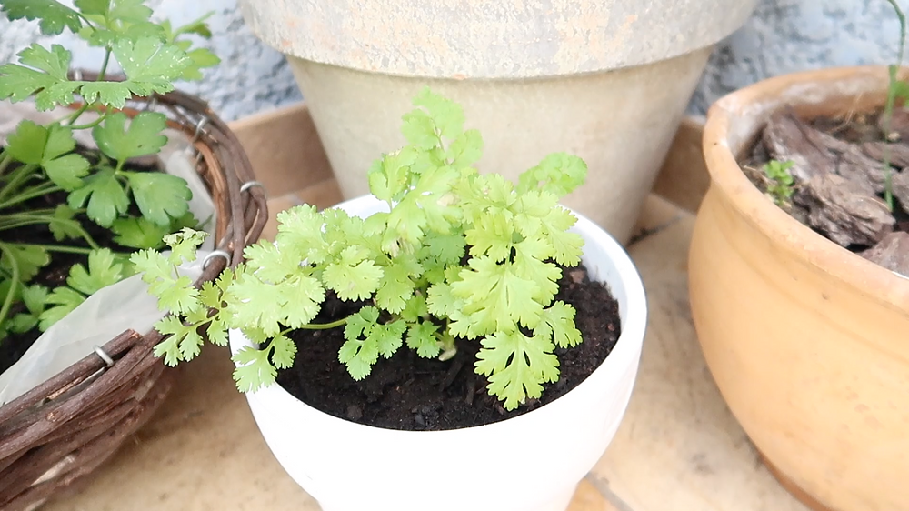 Coriander, Cilantro, Chinese Parsley