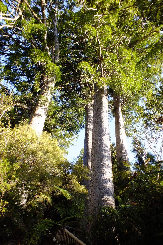 The Kauri Grove