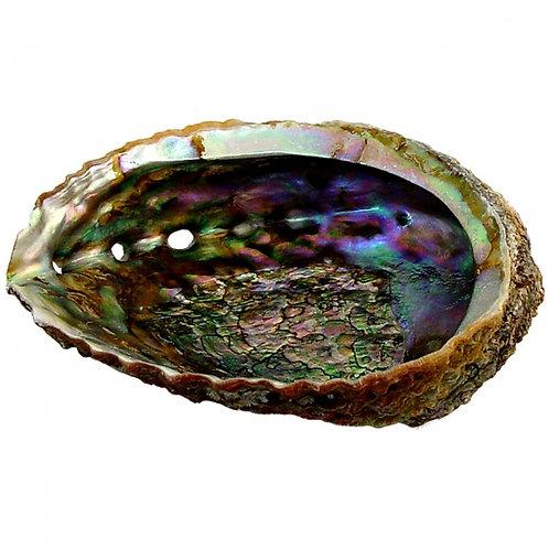 Abalone Shell Med